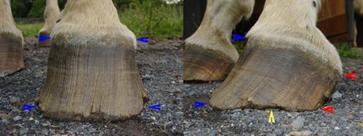 Hoof balance inan overgrown hoof.
