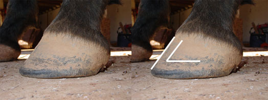 Natural hoof trimming: A healthy hoof