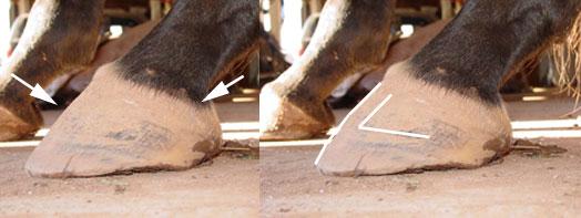 Natural hoof trimming: Negative plane coffin bone