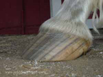 A hoof with a long toe and under-run heel.