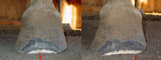 Adjust hoof wall length with a mustang roll