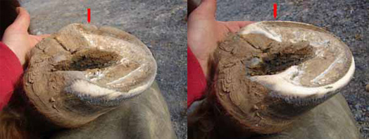 Natural hoof care for horses lowering the walls