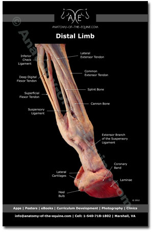 Equine Distal Limb Postcard