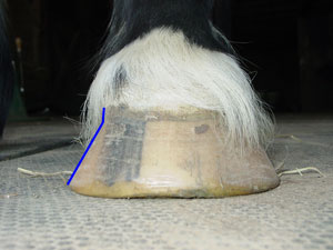 Here you can see the flare on this hoof.
