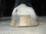Flared Flat Hoof on a Welsh Cob
