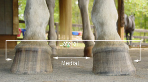 Medial and Lateral sides of the hoof