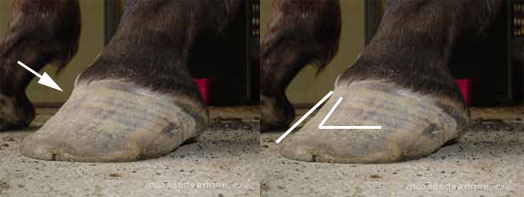 Natural hoof trimming: Long toe