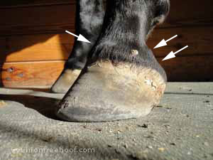 The lateral cartilages on this tall hoof look pushed up.