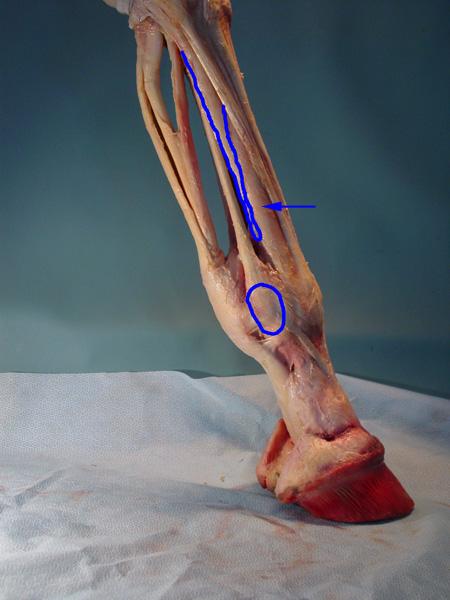 Equine Distal Limb Anatomy