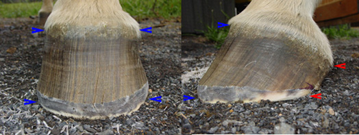 Hoof balance after a trim.