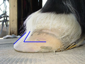 I imagine his coffin bone is not in-line with the hoof wall.
