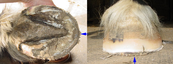 Stretched white line on a flared flat hoof