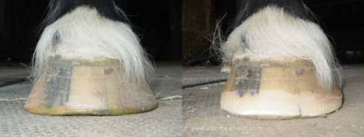 A flared flat hoof.  This hoof is balanced but really wide.