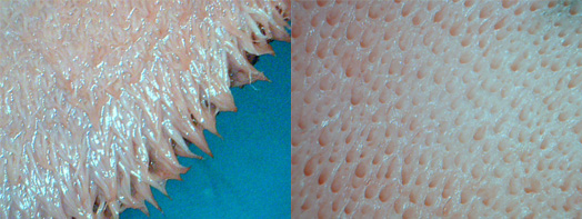 The sole corium is also covered in papillae.