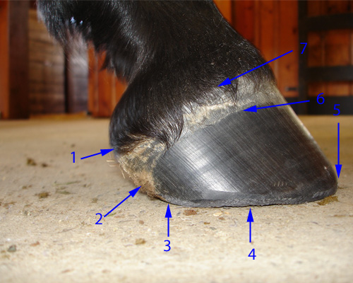 Hoof anatomy horse