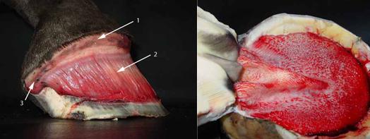 Hoof Anatomy within the Hoof Capsule