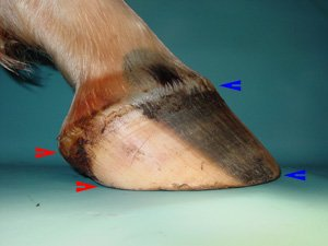 In healthy, well proportioned hooves, the hoof wall tapers from the toe to the heels.